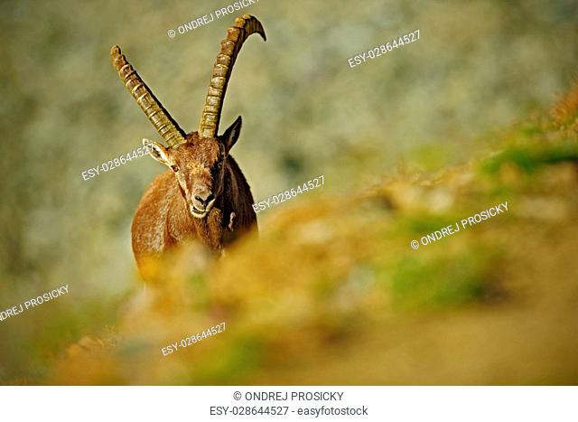 Antler Alpine Ibex, Capra ibex, Hidden portrait of wild animal
