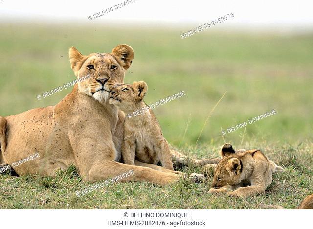 Kenya, Masai Mara Reserve, African lion (Panthera leo leo) family of young lions