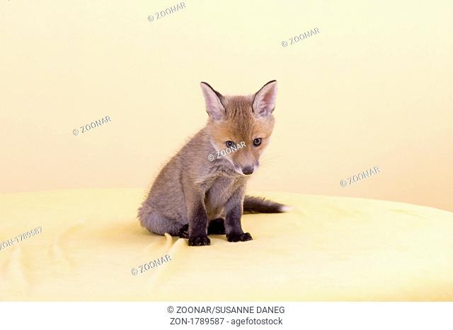 young red european fox