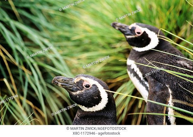 Magellanic penguin Spheniscus magellanicus in a thicket of Tussock Gras, the natural vegetation of the Falkland Island coastline  The range of Magellanic...