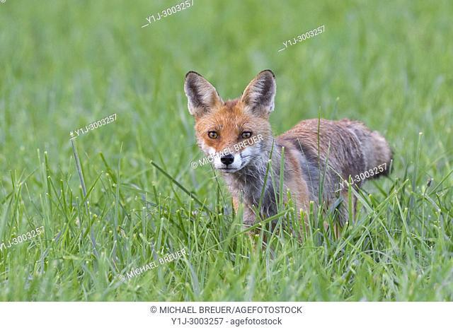 Red fox (Vulpes vulpes) on meadow, Summer, Hesse, Germany, Europe