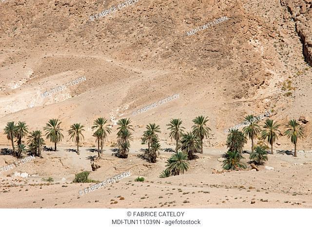 Tunisia - Between Chebika and Tamerza - Palm trees around a mountain oasis close to Chebika