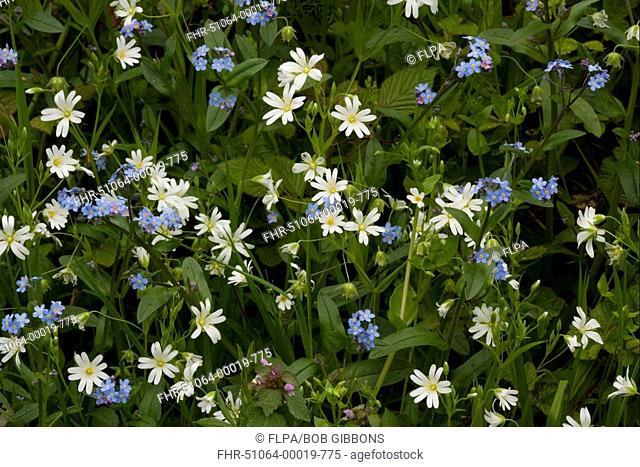 Greater Stitchwort Stellaria holostea and Wood Forget-me-not Myosotis sylvatica mixed woodland flowers, Cumbria, England, spring