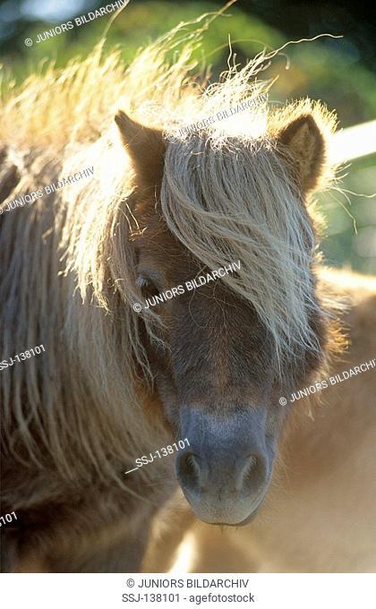 Shetland pony - portrait
