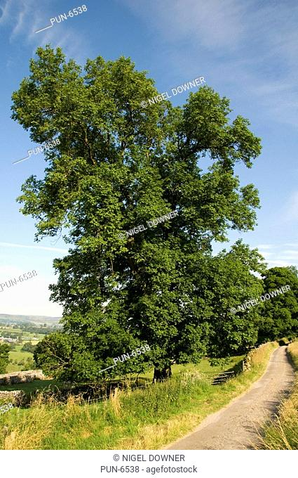 Common ash tree Fraxinus excelsior in full leaf in open countryside during mid-summer