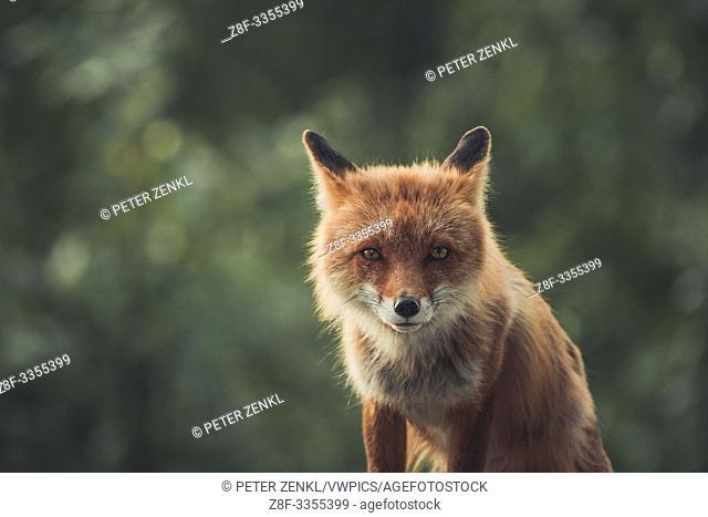 A red fox (Vulpus vulpus) stares right at the camera. Yukon Territory, Canada