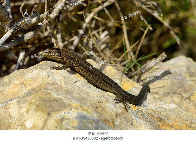 Lilford's wall lizard, Lilfords wall lizard (Podarcis lilfordi, Podarcis lilfordi (Illa Ses Mones Population)), sitting on a rock, Spain, Balearen, Menorca