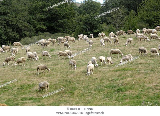 OVIS ARIESDOMESTIC SHEEPFLOCK OF RED LACAUNE SHEEP GRAZINGROQUEFORT CHEESE CAN ONLY BE MADE WITH MILK OF LACAUNE BREED OF SHEEP AVEYRON - FRANCE