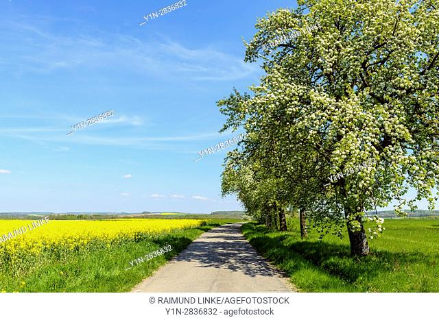 Country road with a row of pear trees, Spring, Bad Mergentheim, Baden-Wurttemberg, Germany