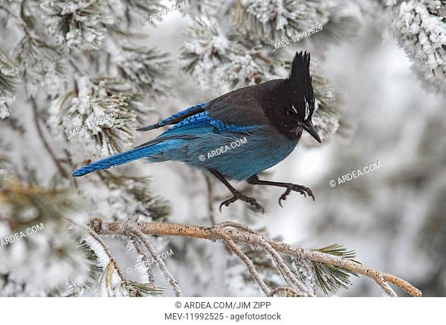 Steller's Jay - Cyanocitta stelleri - Jumping into flight from snow covered branch - New Mexico in winter - USA Steller\'s Jay, Cyanocitta stelleri