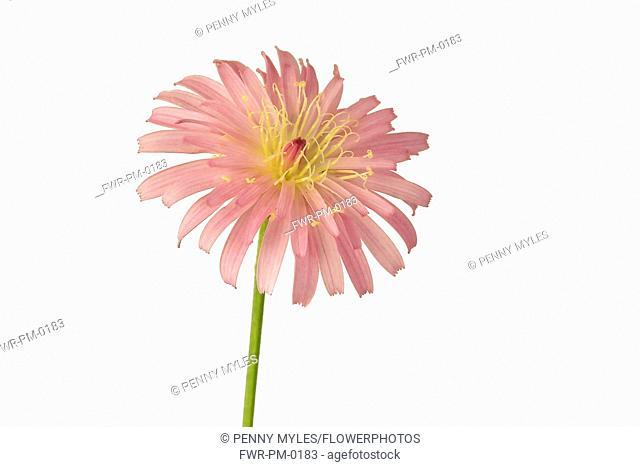 Crepis, Pink dandelion, Crepis incana, Studio shot of pink coloured flower with yellow stamen showing.-