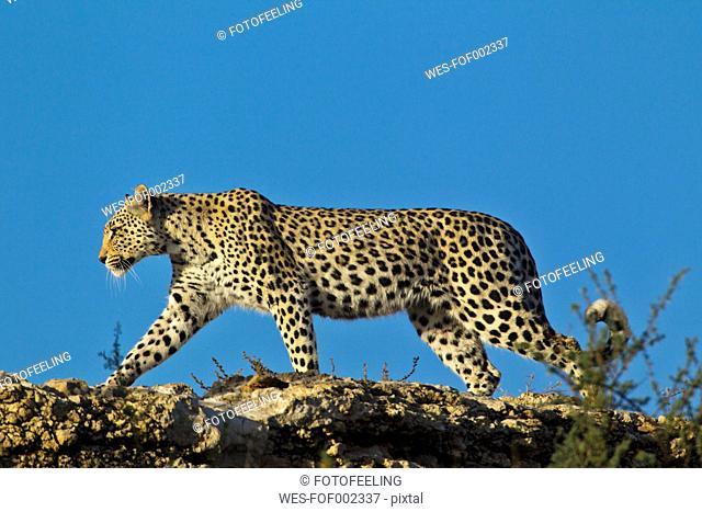 Africa, Botswana, South Africa, Kalahari, Leopard in kgalagadi transfrontier park