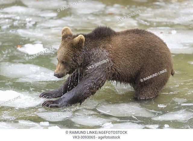 Brown bear, Ursus arctos, Cub in pond, winter, Germany