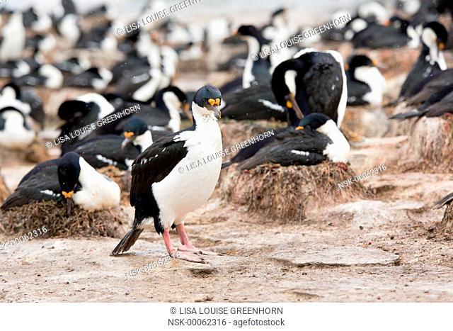 King Cormorant (Phalacrocorax atriceps) walking at breeding colony, Falkland Islands, Sea Lion Island