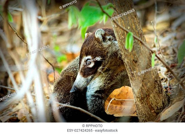 A white-nosed Coati, or locally known as a Pizote