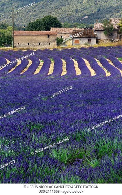 Lavender fields (Lavandula angustifolia), in Oraison, Valensole plateau. Digne-les-Bains district, in Alpes de Haute Provence department and Provence-Alpes-Cote...