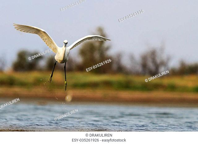 Egretta garzetta flying over the coast,Little egret,bird in flight