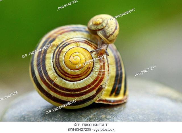 brown-lipped snail, grove snail, grovesnail, English garden snail, larger banded snail, banded wood snail (Cepaea nemoralis), little snail on a big one