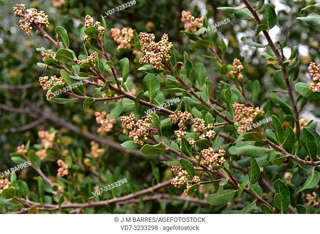 Lemonade sumac (Rhus integrifolia) is an evergreen shrub or small tree native to California (USA) and Baja California (Mexico)