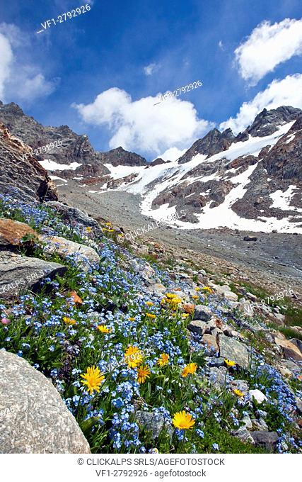 Forget-me-not (Myosotis ambigens) and the earliest-blooming of the daisies, Leopard's Bane, flowering by the glacier of Caspoccio in Valmalenco, Valtellina