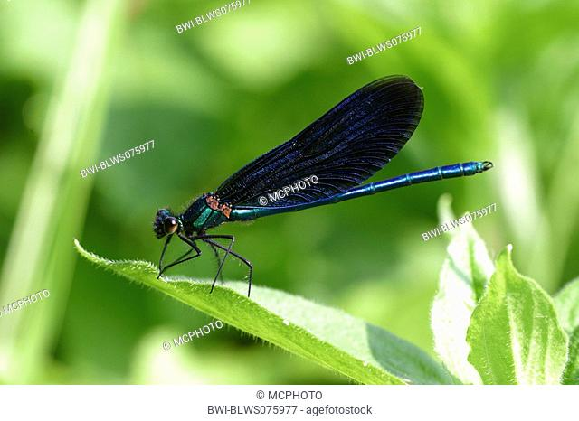bluewing, demoiselle agrion Calopteryx virgo, male, Germany, Baden-Wuerttemberg