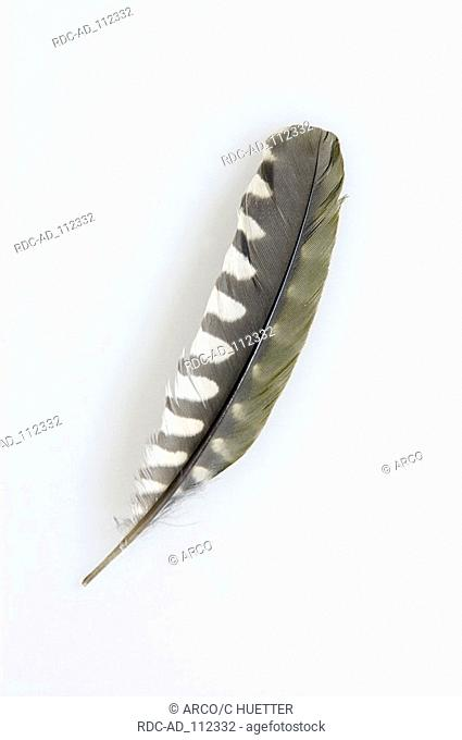 Green Woodpecker feather of arm wings Picus viridis