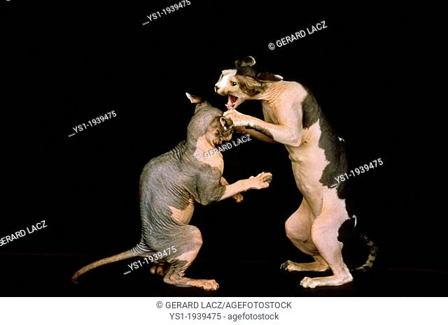 Sphynx Domestic Cat, Adults fighting against Black Background
