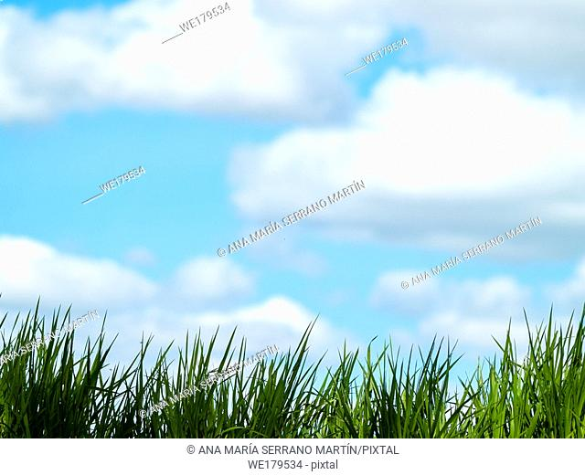 Green grass in spring with sky and clouds background