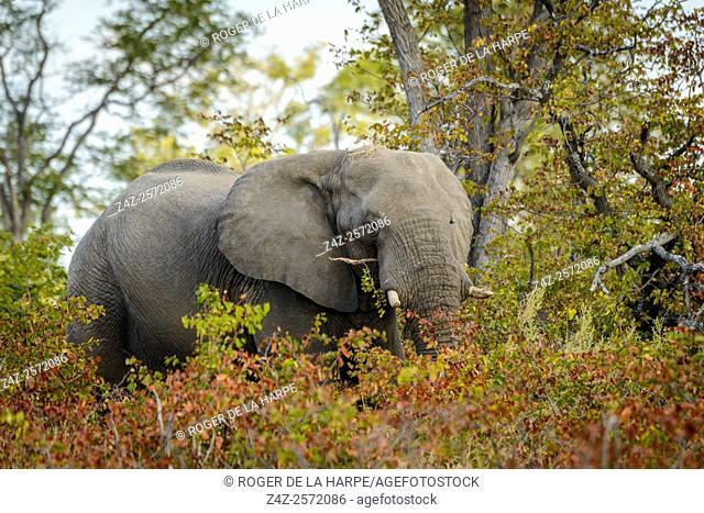 African Bush Elephant (loxodonta africana) in Mopane veld. Okavango Delta. Botswana