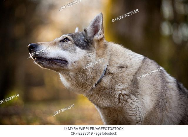 Wolf dog in the park