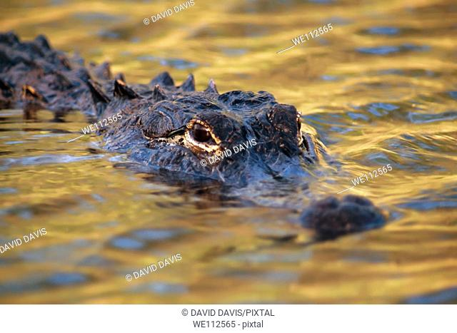 American Alligator Alligator mississippiensis mississippiensis in the Everglades National Park, United States