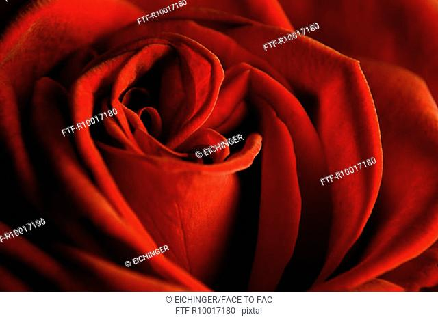 Red rose, close-up