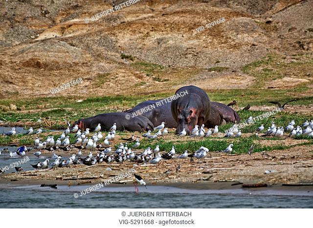 Hippopotamus, Hippopotamus amphibius, Kazinga Channel, Queen Elizabeth National Park, Uganda, Africa - Uganda, 14/02/2015