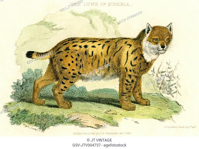 Lynx of Siberia, Hand-Colored Engraving, 1825