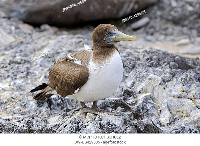 blue-footed booby (Sula nebouxii), young bird standing on stony ground, Ecuador, Galapagos Islands, Espanola