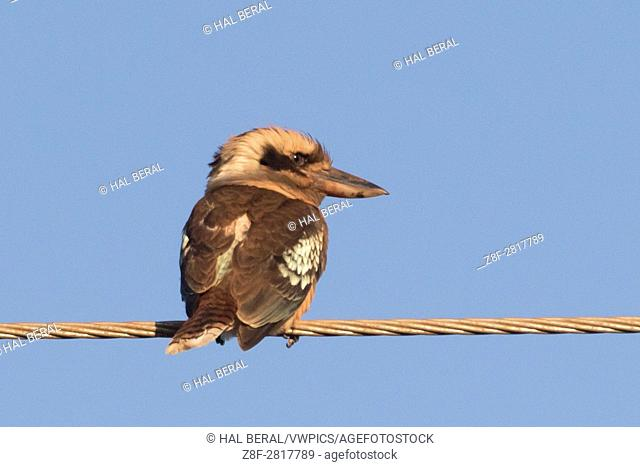 Laughing Kookabuura (Dacelo novaeguineae) Atherton Tablelands, Queensland, Australia