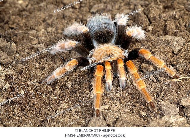 Mexico, Araneae, Mygalomorphae, Theraphosidae, Mexican fireleg or Mexican rustleg tarantula (Brachypelma boehmei)