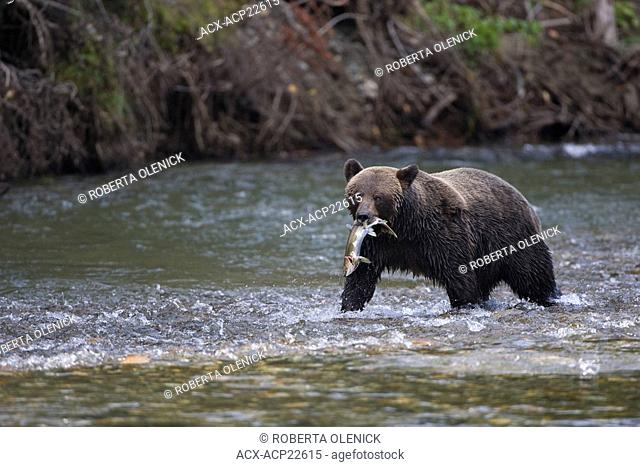 Grizzly bear Ursus arctos horribilis, female, with freshly caught pink salmon Oncorhynchus gorbuscha, coastal British Columbia, Canada