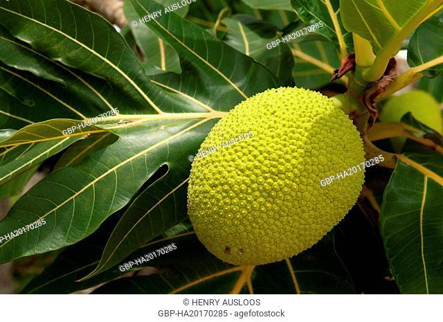 Artocarpus altilis, Artocarpus communis, Artocarpus incisus (Arbre à pain) Thailand
