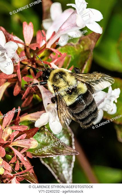 Mason Bee (Osmia sp.) Feeding on Abelia Shrub Flower