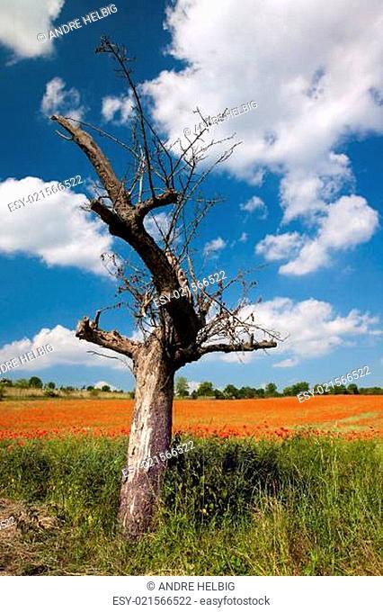 kahler Apfelbaum vor Getreidefeld mit Mohnblüten