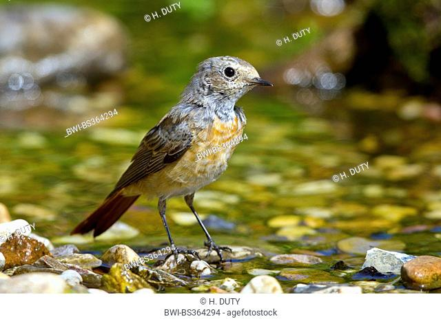 common redstart (Phoenicurus phoenicurus), young male at the bathing place, Germany