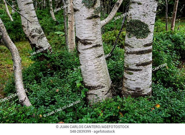 Abedul (Betula pendula) en el parque natural Collados del Ason. Cantabria. España. Europa
