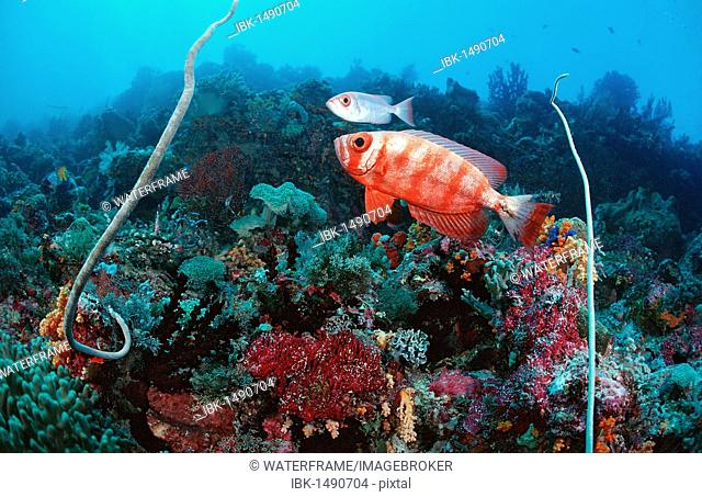 Coral reef with Bigeyes (Priacanthus hamrur), Waktobi, Celebes Sea, Sulawesi, Indonesia