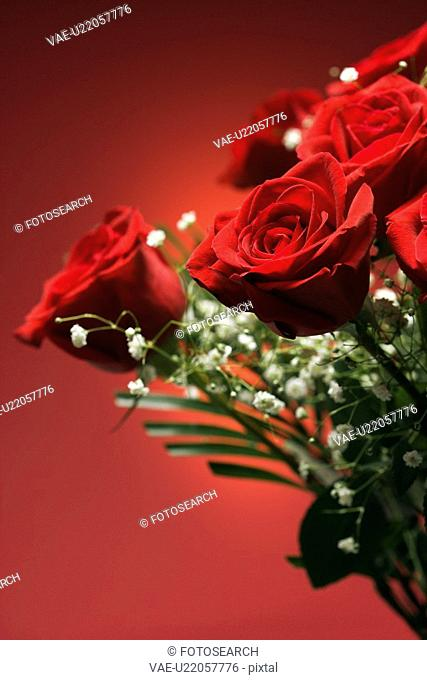 Close-up of bouquet of red roses with baby's breath against red background