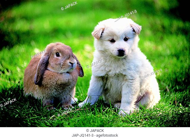 Lopear rabbit and mixed breed puppy