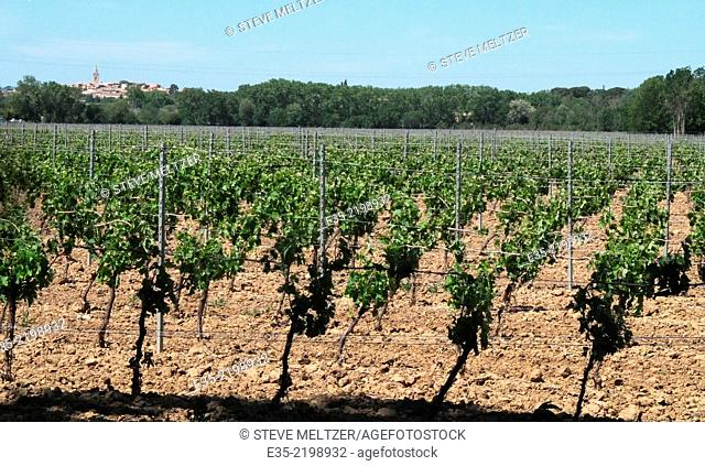An early spring vineyard in France