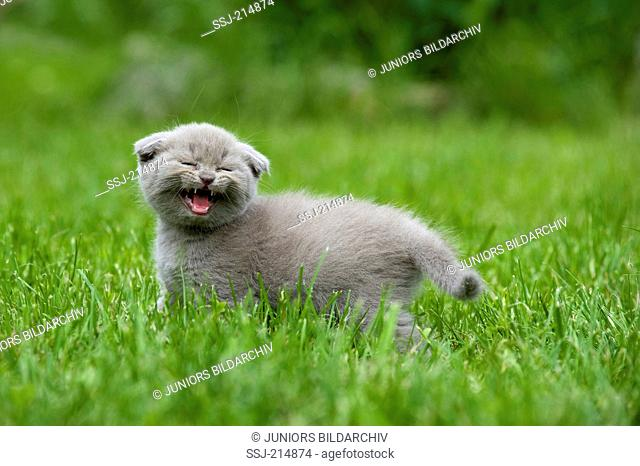Scottish Fold. Gray kitten standing in grass while meowing. Germany