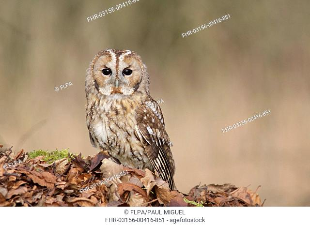 Tawny Owl (Strix aluco) adult male, standing amongst fallen beech leaves on woodland floor, North Yorkshire, England, February (captive)