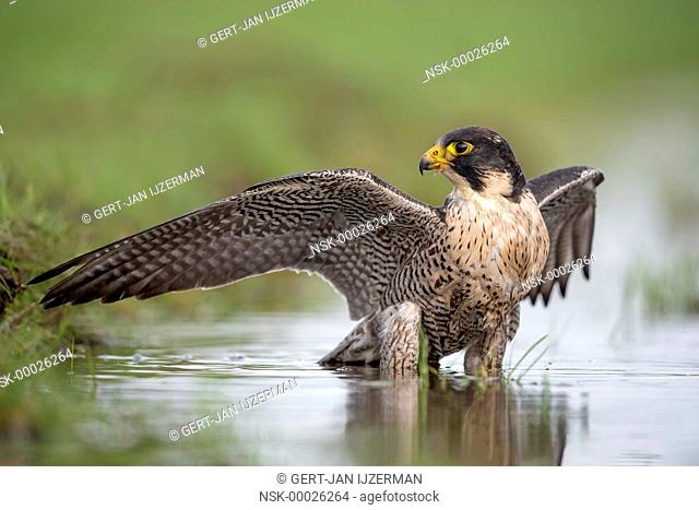 Peregrine Falcon (Falco peregrinus) takes a bath in a ditch, The Netherlands, Overijssel, Kampen, Kampereiland